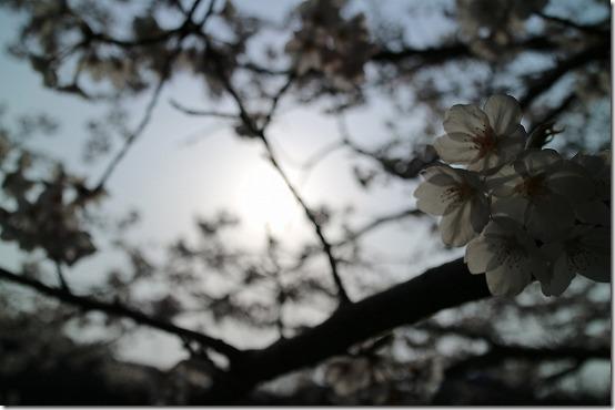 瑞梅寺川 夕方の桜
