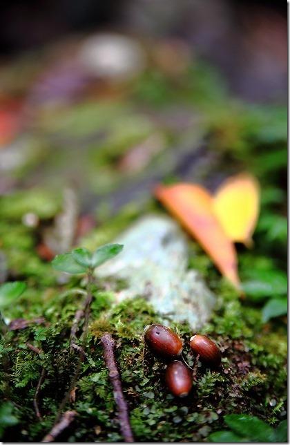 秋の野河内渓谷で椎の実
