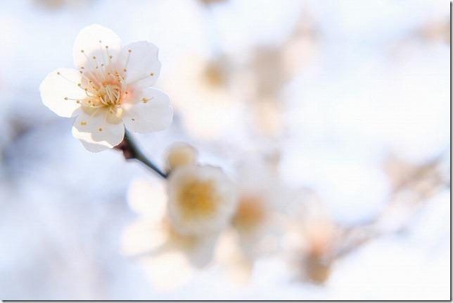 小富士梅林の白梅