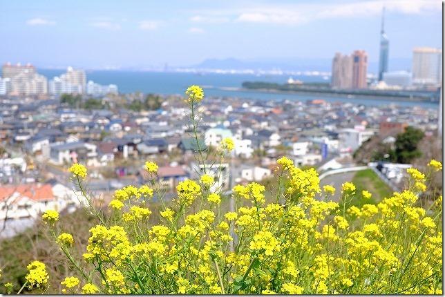 愛宕神社 菜の花越しに福岡タワーや町並みを