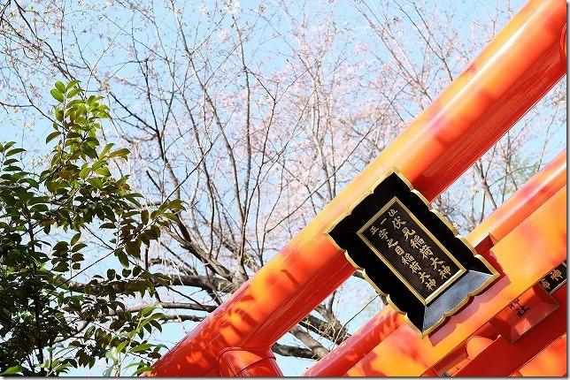 愛宕神社 境内の桜