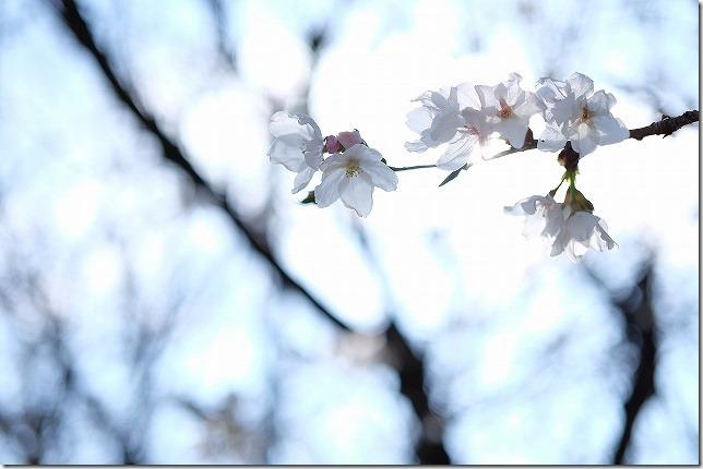 愛宕神社 境内の桜の状況