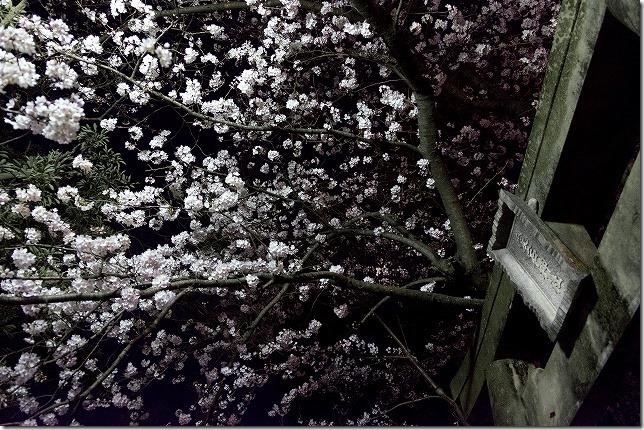 愛宕神社の夜桜 ライトアップ(福岡市西区)