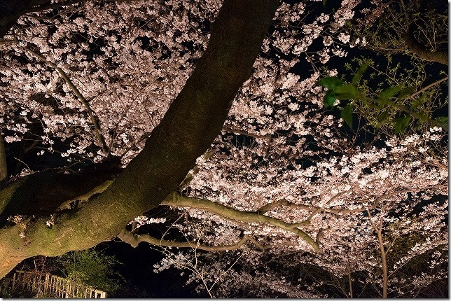 岩井屋 夜桜 ライトアップ