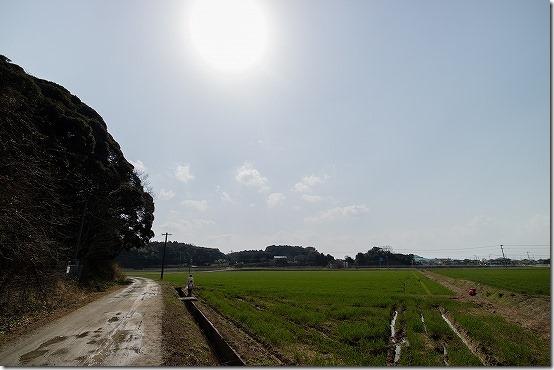 あぜ道沿いの糸島のツクシ