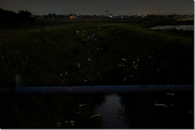 糸島 赤崎川でたくさんのホタルが乱舞(糸島市・井原)