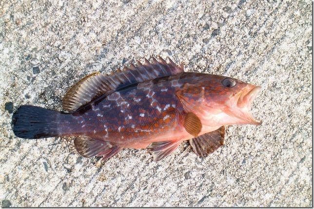 糸島のアコウ釣り