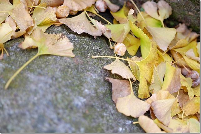 糸島イチョウの銀杏