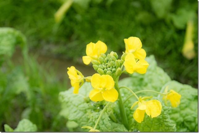 菜の花畑が咲き始め 福ふくの里