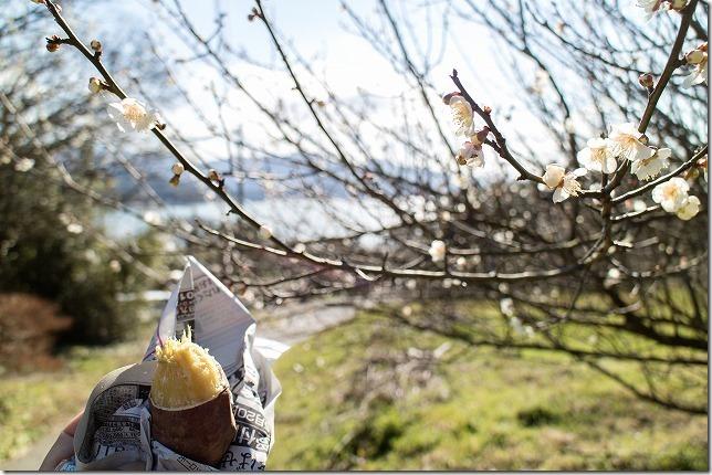 糸島,小富士梅林の焼き芋と梅