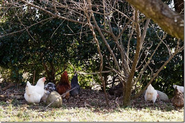 糸島,小富士梅林で鶏