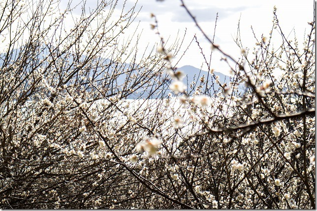 糸島,小富士梅林