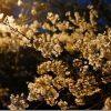 満開の桜 愛宕神社(福岡市西区)