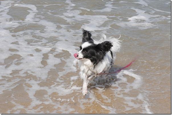 今宿海岸(長垂海浜公園)で犬の水遊び