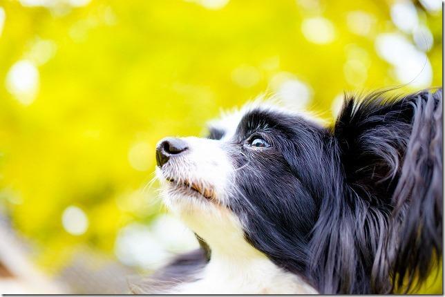 糸島、長石のお薬師様の大イチョウの紅葉と犬