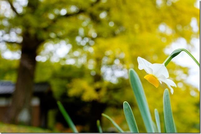 糸島、長石のお薬師様の大イチョウの紅葉と水仙