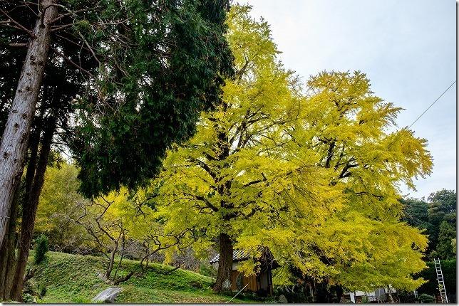 糸島、長石のお薬師様の大イチョウの紅葉
