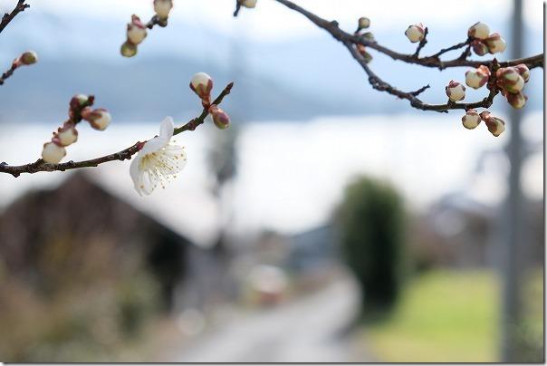 糸島、小富士の梅林の開花状況