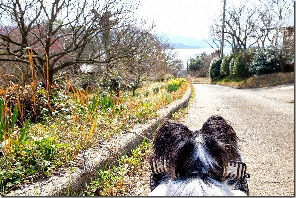 糸島、小富士の梅林を犬の散歩
