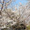 室見川と桜公園の桜の開花状況