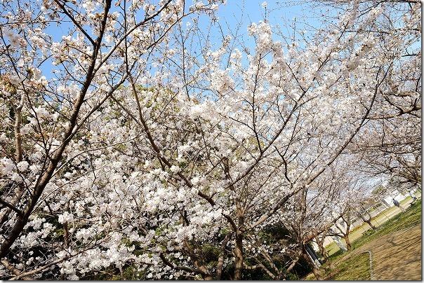 福岡市西区橋本の桜公園