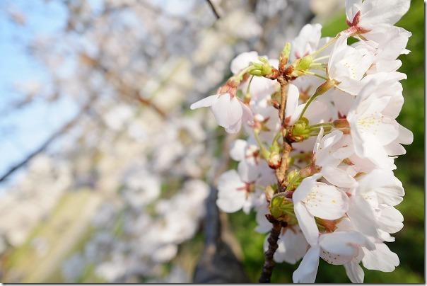 福岡市西区橋本の桜公園の桜
