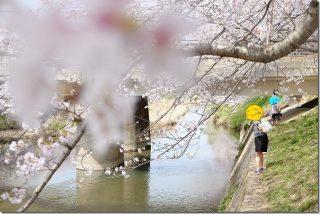 糸島の桜へ電車で花見(池田川(瑞梅寺川)の桜並木)