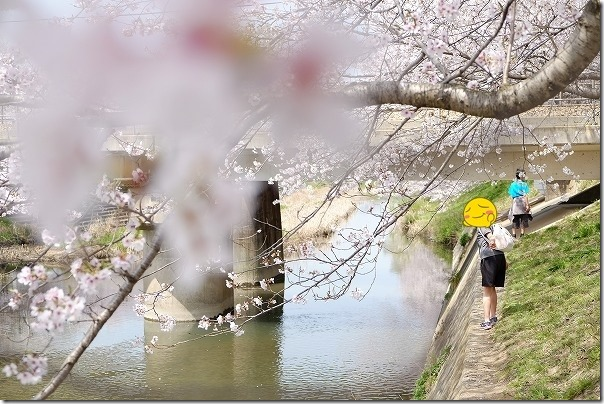 糸島,池田川(瑞梅寺川)の桜並木