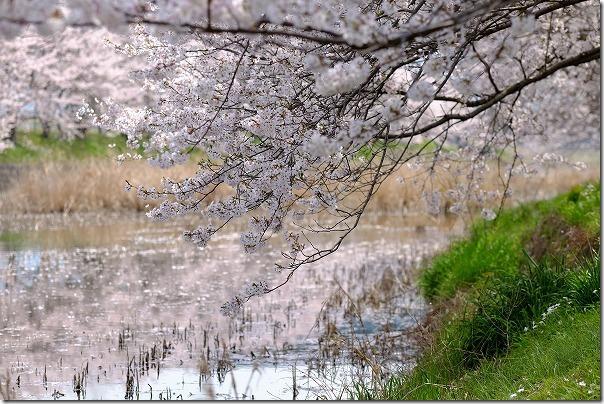 糸島,池田川(瑞梅寺川)の川面に映る桜
