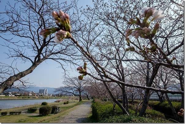 室見川の桜並木(橋本の車両基地横)の桜