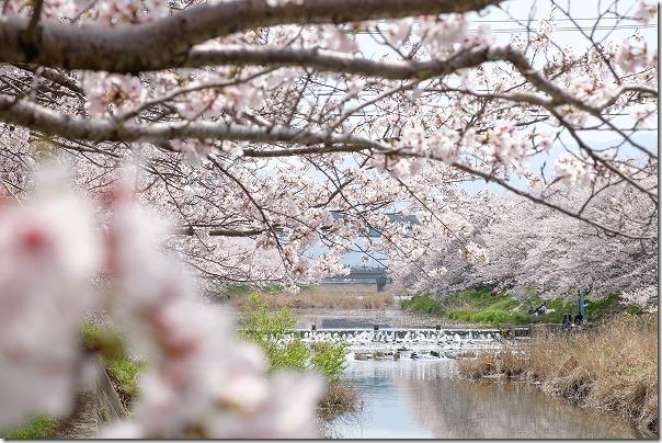 糸島,池田川(瑞梅寺川)の桜並木,満開