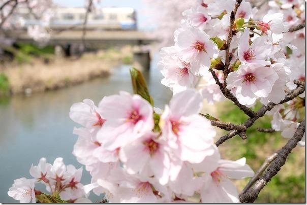 糸島,池田川(瑞梅寺川)の桜並木と電車