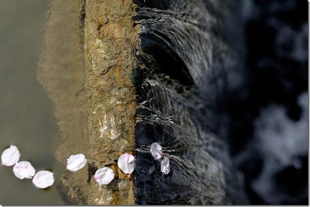 糸島,池田川(瑞梅寺川)の桜の花びら