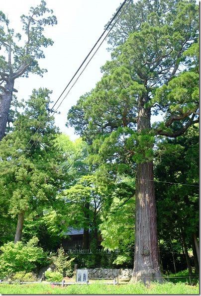 雷山,雷神社の大杉