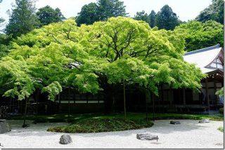 雷山千如寺 大悲王院の新緑の大楓と五百羅漢