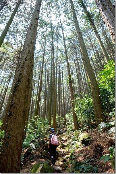 子供と飯盛山の登山、杉林