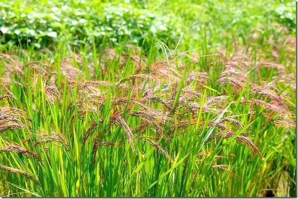 糸島二丈の赤米