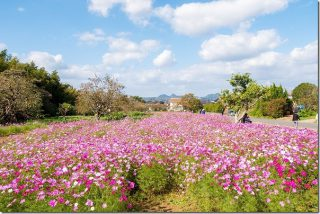 糸島 平原歴史公園のコスモス畑 2018