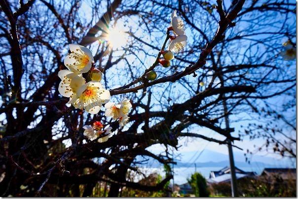 糸島の小富士梅林で梅と海と空