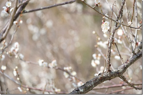 糸島,小富士梅林の梅