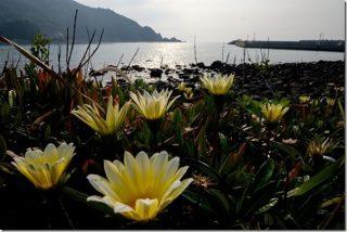 糸島の海と花 芥屋海水浴場の近くを散策