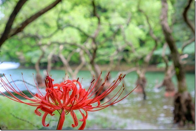 不動池と彼岸花、糸島