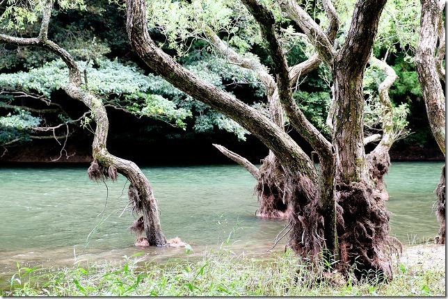 糸島,不動池の水面から生える木