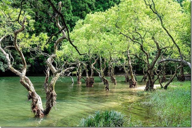 糸島,不動池の水面から生える木々