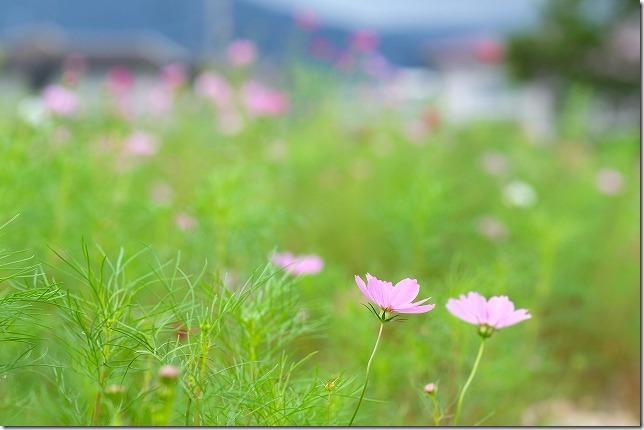 糸島,平原歴史公園のコスモス畑,2019開花状況