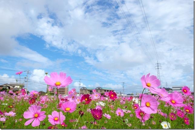 周船寺のコスモス畑、2019/10/19、開花状況