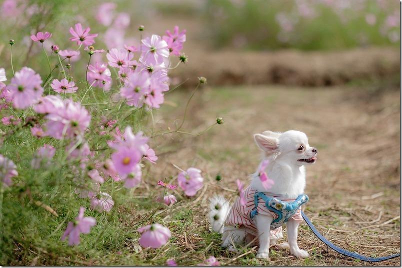 やよいの風公園のコスモス畑を犬と