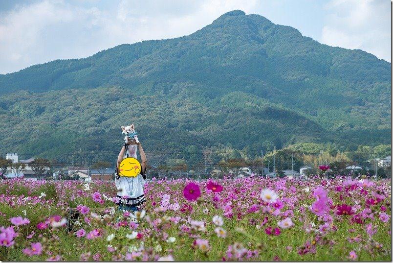 飯盛山とやよいの風公園のコスモス畑