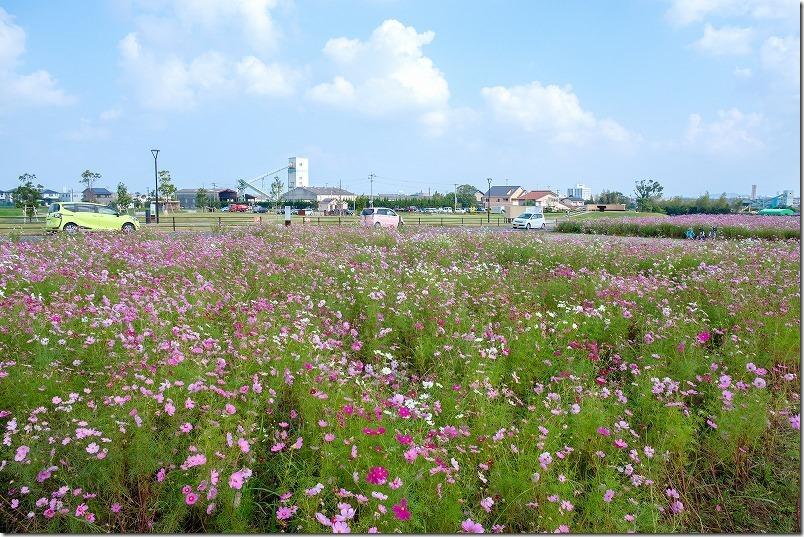 やよいの風公園のコスモス畑が満開