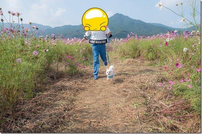 やよいの風公園のコスモス畑を散策